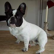 Fransk bulldog Thorsen