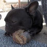 Fransk bulldog Arthur *Død* 8.Juli 2007.