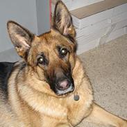 Schæferhund Jara