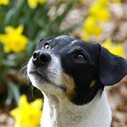 Dansk svensk gaardhund Eddie R.I.P. min dreng...