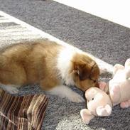 Shetland sheepdog Simba