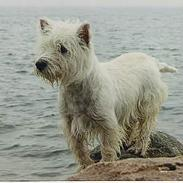 West highland white terrier sisse *død* †
