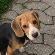 Beagle *  Princess Leika  * RIP