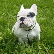 Fransk bulldog X´sitaro