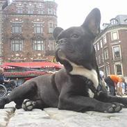 Fransk bulldog Gokke Jensen