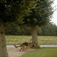 Schæferhund kato