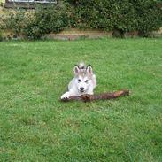 Alaskan malamute Chewie **Død feb 07**