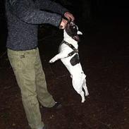 Fransk bulldog Bandit