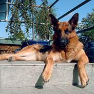 Schæferhund  Akita Nabonas  en hund f