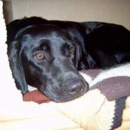 Labrador retriever Nakita <3