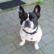 Fransk bulldog Grisepjok