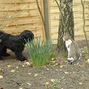 Tibetansk terrier Sir. Gavin