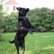Labrador retriever *Freja* (Min MulMul)