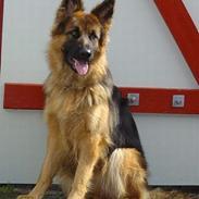 Schæferhund Slottes Sasja