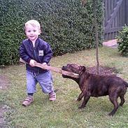 Staffordshire bull terrier * Stella*