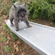 Cairn terrier Vicky Leandros *HIMMELHUND*