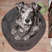 Grand danois Carla himmelhund