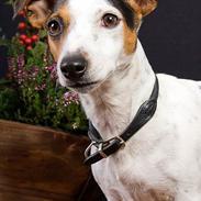 Jack russell terrier vabber