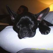 Fransk bulldog Rocky - R.I.P :'( <3