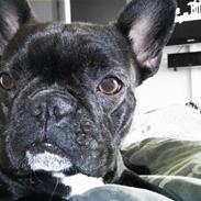 Fransk bulldog FreYa