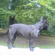 Fransk bulldog Myrna