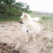 Pomeranian Plys