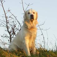 Golden retriever Bamse