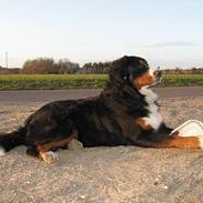 Berner sennenhund Boss DØD D25/3 R.I.P