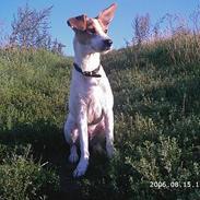 Dansk svensk gaardhund Scotty