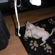 Chihuahua Mischa