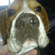 Beagle Oscar