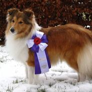 Shetland sheepdog Sonja