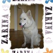 Samojedhund Zarina