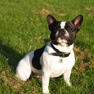 Fransk bulldog Remi (død: 15/09-2018)