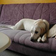 Labrador retriever (formel 1) Molli