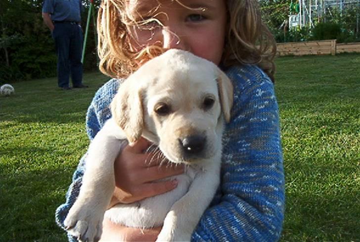 Labrador retriever (formel 1) Molli - Min dejlige hund <3 billede 1