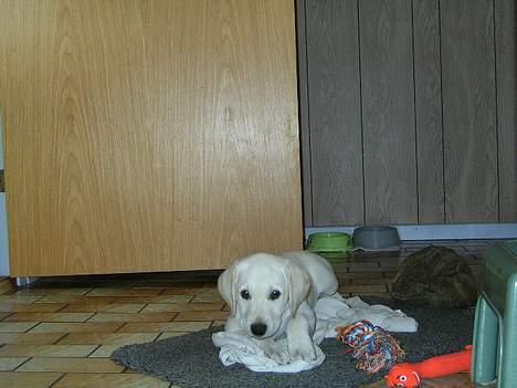 Labrador retriever (formel 1) Molli - da vi lige havde fået hende :D billede 3