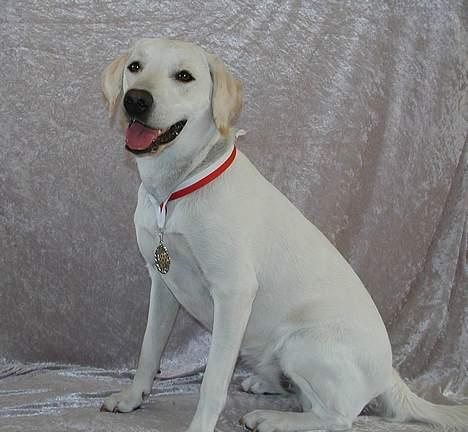 Labrador retriever (formel 1) Molli - med hendes fine medalje hun vandt i agillaty billede 4