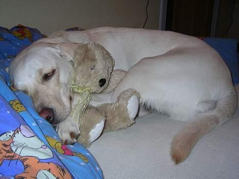 Labrador retriever (formel 1) Molli - her putter hun med sin bamse (= billede 11