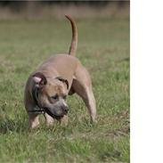 Amerikansk staffordshire terrier izo