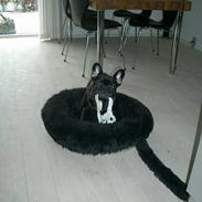 Fransk bulldog Bertha