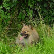 Pomeranian Tyson, Sov godt Skat <3 R.I.P