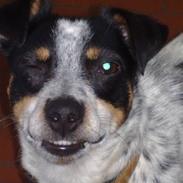 Dansk svensk gaardhund Kom-Tessa af AllerupNord