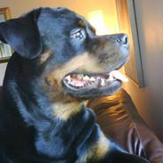 Rottweiler Tyson R.I.P