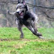 Irsk ulvehund Sirius