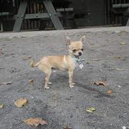Chihuahua Umberto *4/1-05 - 7/3-06*