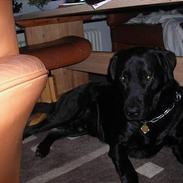 Labrador retriever king ( R.I.P <3 aflivet)