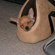 Chihuahua santino