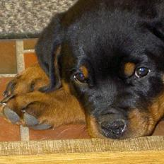 Rottweiler Chaco