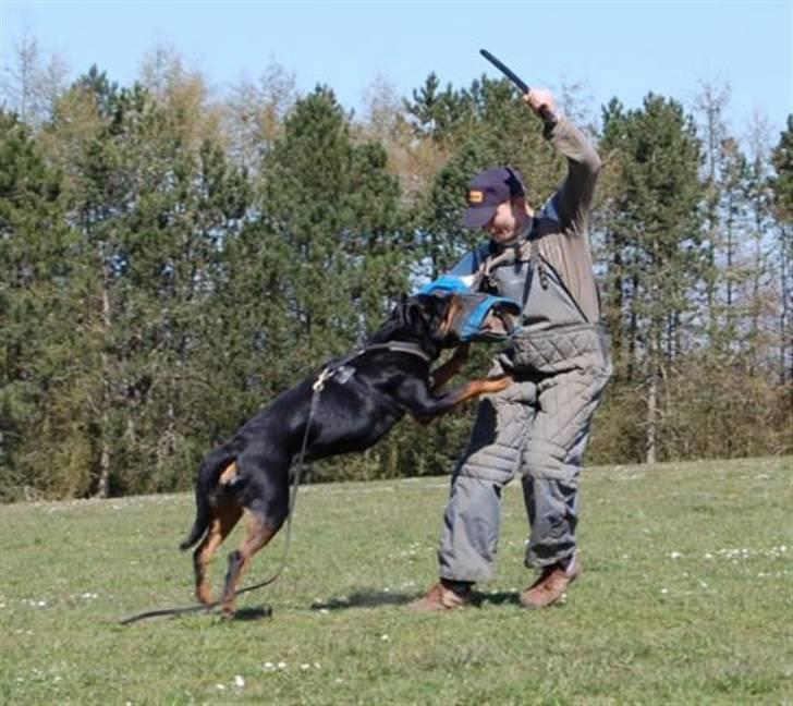 Rottweiler Chaco - chaco bid - 2008 billede 1